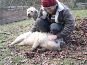 Schweinehypnose 2