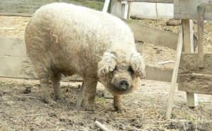 schönes schwein