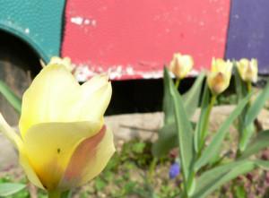 tulpe.jpg