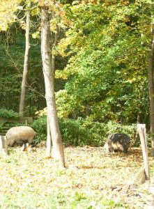 SChweine im Herbst 3