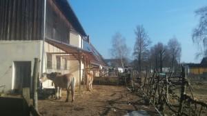 Hahn und Ponys