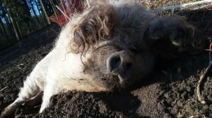 Winterliches Wollschweinyoga