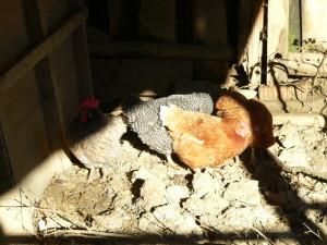 Sonnenhühner